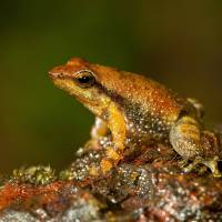 New frog species discovered