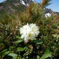 Mountain magic: Few sights are as impressive as a Rhododendron aureum in bloom at Daisetsuzan National Park in central Hokkaido.   MARK BRAZIL