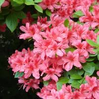 Azaleas can be easily found in urban gardens and parks across the country. | MARK BRAZIL