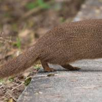 The Asian mongoose has killed large numbers of Amami rabbits since their introduction to control snakes in 1979. | WIKICOMMONS