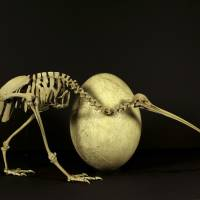 Kiwi's DNA link to elephant ancestor recasts evolution of flightless birds