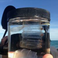 A sea salp and comb jellies, caught by University of Florida neurobiologist Leonid Moroz off the coast of Florida. | AP