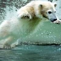 A young polar bear plays in its enclosure at Wuppertal Zoo in Germany in June 2012. | AFP-JIJI