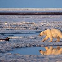 A polar bear wanders across the Arctic National Wildlife Refuge in northeastern Alaska. A new study published Thursday says the reason polar bears can consume huge amounts of fat while remaining healthy lies in their genes, particularly those that handle how fats are metabolized and how they are transported in the blood. | AP
