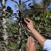 A producer shows coffee beans damaged by coffee rust fungus in San Gaspar Vivar, Guatemala. | AP