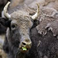 European bison released into Romanian wild