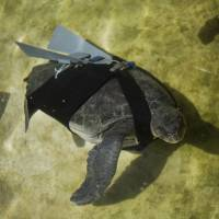 Israeli team designs prosthetic fin to save turtle
