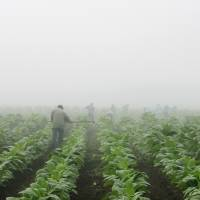 Report highlights child labor on U.S. tobacco farms