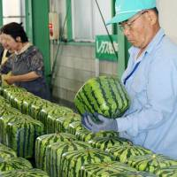 Cube watermelon shipments begin in Kagawa