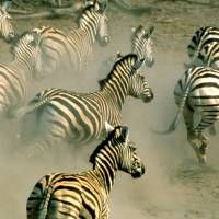 Mass movement: Zebra run on a plain in northern Botswana. Thousands of zebra were monitored during a 500 km roundtrip journey, a newly discovered trek that wildlife experts say reaches farther than any other known land migration in Africa. | AP