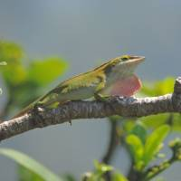 Threat: Species that threaten an island's ecosystem may come in small packages, such as this green anole photographed last month on Chichi-jima, one of the Ogasawara Islands. | MARK BRAZIL