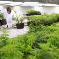 Canada's cannabis growers see multibillion-dollar market in weed