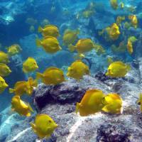 Yellow tang are indigenous to the waters off Hawaii, as seen in this photo provided by Oregon State University. | AP