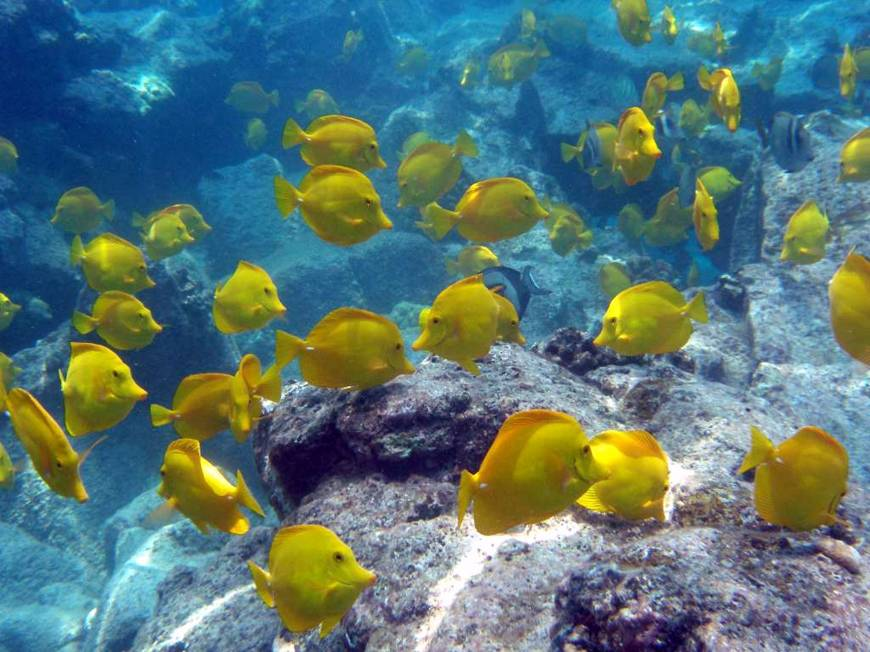Hawaii at center of fight over aquarium fish the japan times for Yellow tang fish