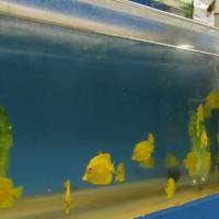 Yellow tang are displayed for sale as aquarium fish in a store in Aiea, Hawaii. | AP