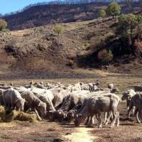 Aussie sheep high on killer weed