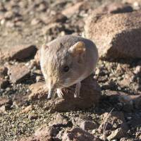 Tiny shrew has jumbo relatives: DNA study