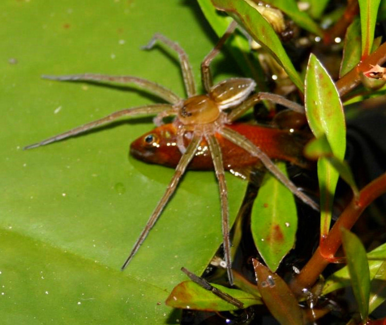 Spiders Across The World Have A Taste For Fish Scientists