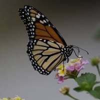 Monarch butterflies navigate by magnetism, sun