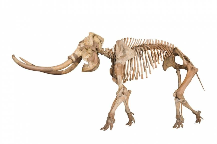 The reconstructed skeleton of an Elephas namadicus (male)