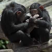 Chimpanzee sign language translated