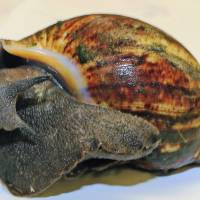 One of the snails from an air cargo shipment from Nigeria that was seized by U.S. authorities at Los Angeles International Airport on July 1. | USDA, GREG BARTMAN/AP