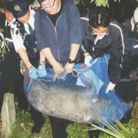Police officials capture a wild boar on March 26 in Kyoto's Sakyo Ward after a two-hour chase. Forty-two percent of wild boars caught in the Chugoku region between 2009 and 2011 were found to be infected with the hepatitis E virus, while no wild boars caught in the Kinki region, including Kyoto, were found to be infected. | KAWABATA POLICE/KYODO