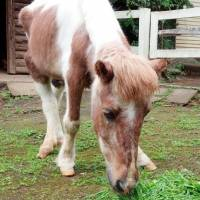 'Imperial pony' dies after long life at Yokohama park