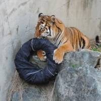 Zoo makes wild fashion statement with lion-ripped jeans