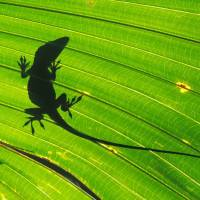 Unwanted guest: A large male green anole in silhouette behind a fan palm leaf on Chichijima, in the Ogasawara Islands. | MARK BRAZIL