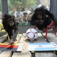 Rooting for Germany: Chimpanzees in China attempt to predict the outcome of the 2014 World Cup. New research suggests that chimps inherit 50 percent of their intelligence genetically from their parents — as, some scientists believe, do humans. | REUTERS