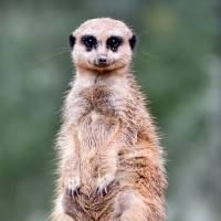 Meerkat murder, cannibalism, sex and dominance explored in study
