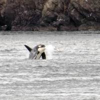 Population of Orca killer whales declines in Puget Sound, census shows
