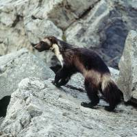 U.S. to drop protections for snow-loving wolverines