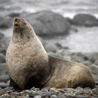 Climate change ravaging Antarctic fur seals