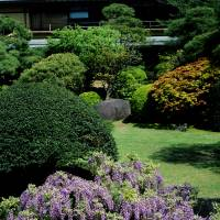 Long-term residents: The presence of wisteria trellises and clumps is mentioned in garden manuals as far back as the Heian Period. | STEPHEN MANSFIELD