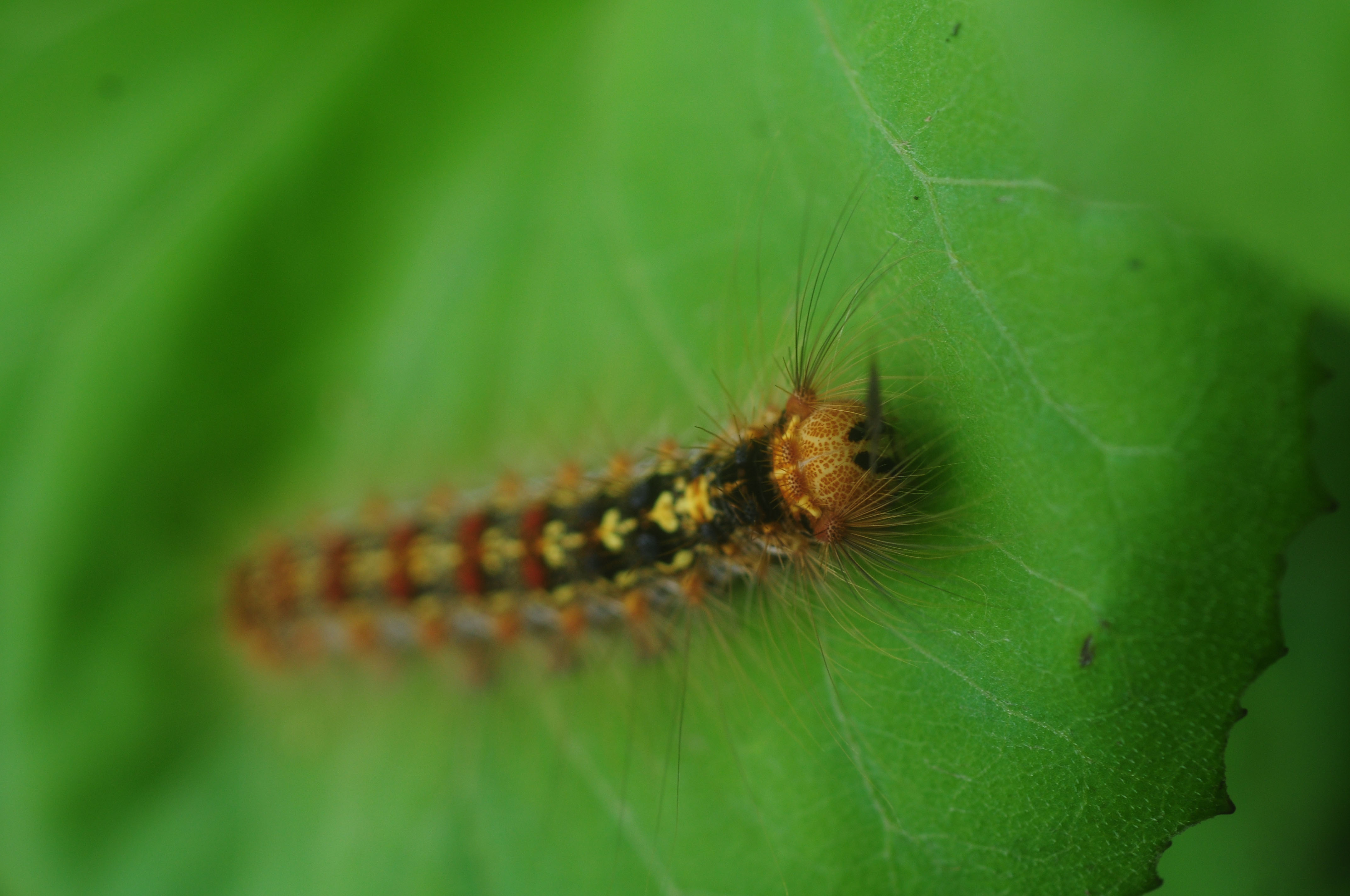 Toxic gypsy moths a most unpleasant infestation the for What does a caterpillar rash look like