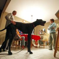 'Gentle giant' Zeus the Great Dane, tallest dog in the world, dies