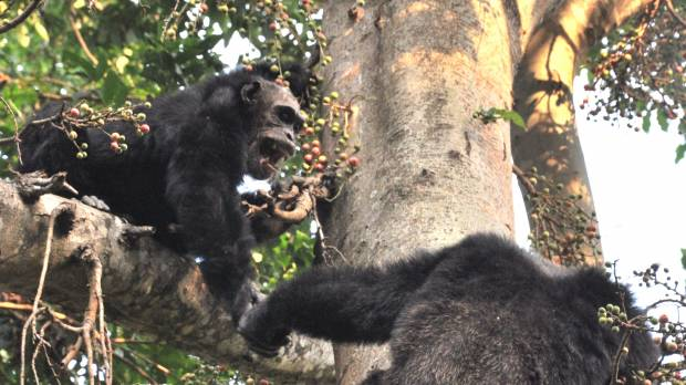 Chimps are natural-born killers, say scientists