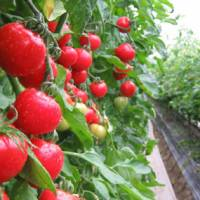 Maturing to Mozart: Harada Star Drop tomatoes take in 10 hours of Mozart a day as they ripen in greenhouses. | COURTESY OF HARADA TOMATO