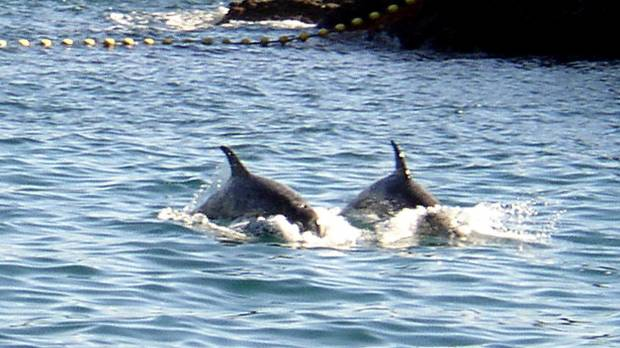 Season's first dolphins killed in Taiji
