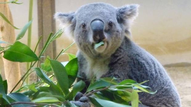 Koalas' prodigious costs, graying population bedevil nation's zookeepers