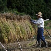 Aeon starts large-scale rice production as companies replace farmers