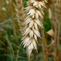 Japan, South Korea can stop GMO testing, U.S. wheat official claims