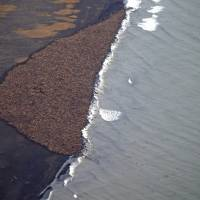 Northwest Alaska walrus shore cluster numbers 35,000; sign of climate change
