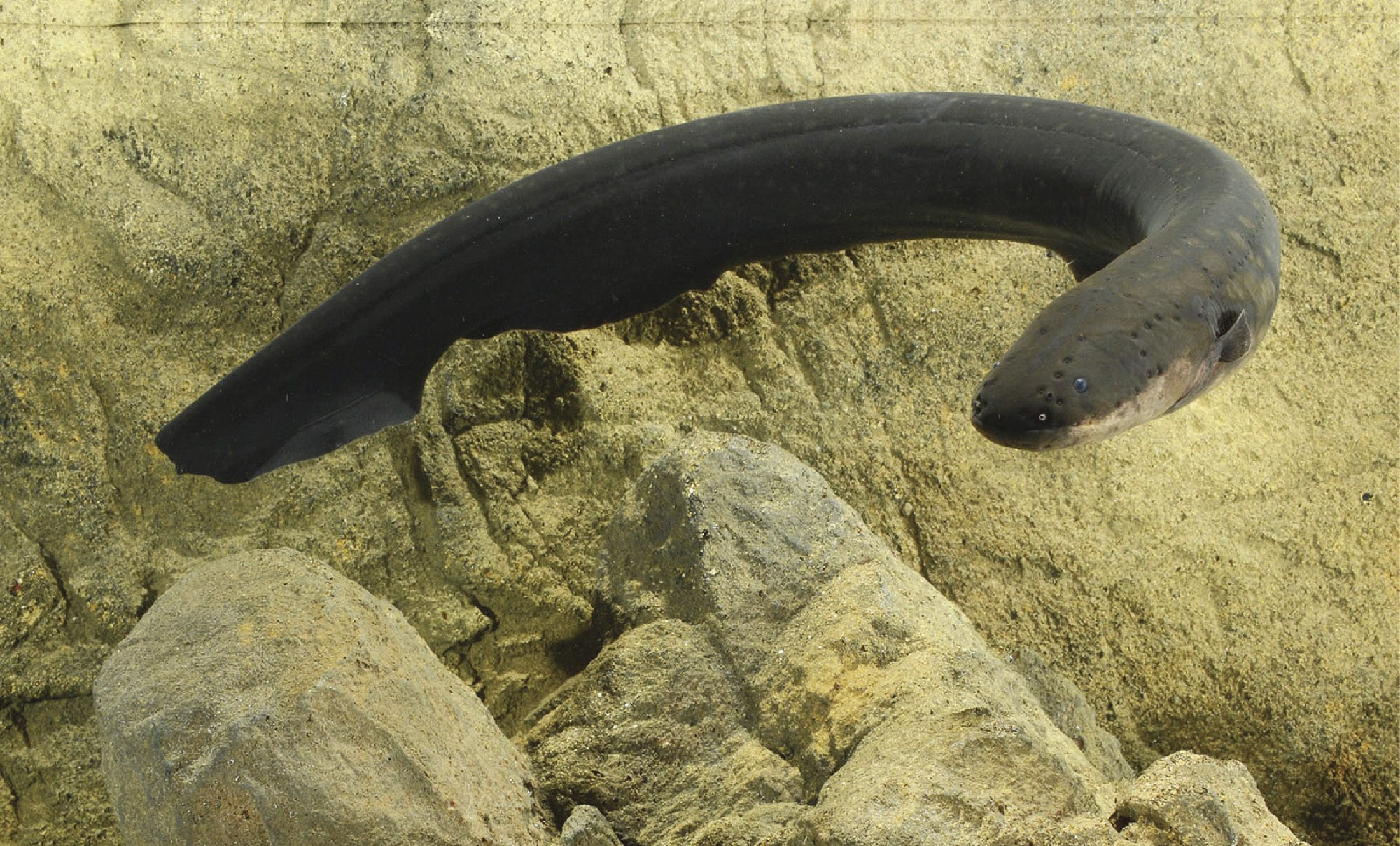 Eel Electric City Electric Eels Can Beat Any