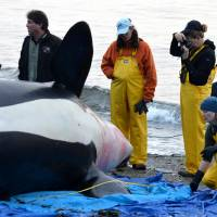 Pregnancy-related infection killed endangered orca