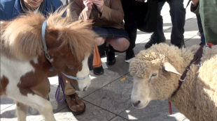 [VIDEO] A sheep and a pony in central Tokyo