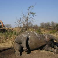In Africa, a record year for slayings of rhinos