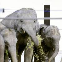 Young elephants donated by Laos go on display in Kyoto